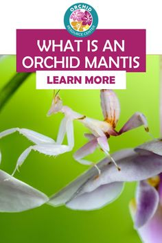 Have you ever seen or discvered these unique bug like creatures? They look exactly like an orchid flower but are part of the mantis family. Learn more about orchid mantis bugs and why they look like they do.