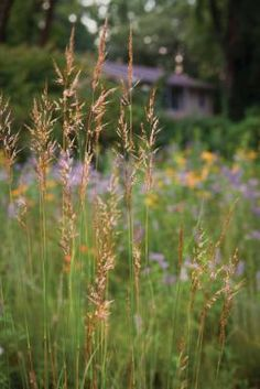 replace your lawn with grass alternatives: Indian Grass (Sorghastrum nutans) demonstrates that native grasses can be as lovely as any flower.