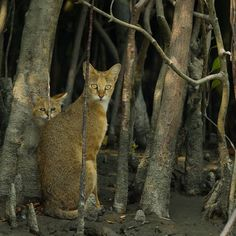 Jungle Cat (Felis chaus) with kitten, also known as Reed Cat or Swamp Cat, in the mangroves of the Sundarbans, a vast forest in the coastal region of the Bay of Bengal