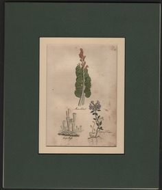 HERBS: Moon Wort - Cup Moss - Mother Of Thyme DOUBLE MATTED c1812 Print