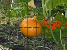 How To Grow Pumpkins - everything you wanted to know and were afraid to ask.
