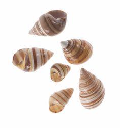 Achatinella sp., Hawaiian tree snail, shell, six specimens