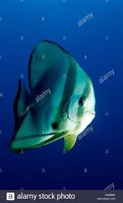 Pinnate Spadefish Pinnate Batfish Dusky Batfish Shaded Batfish Or Red Faced Batfish Google Search Fish Pet Batfish Angel Fish