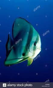 Pinnate Spadefish Pinnate Batfish Dusky Batfish Shaded Batfish Or Red Faced Batfish Google Search Fish Pet Batfish Angel Fish