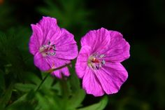 Twinn 4 O'clock Flowers Macro
