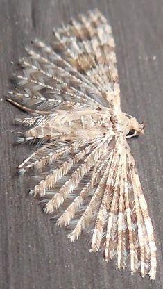 Many-plume Moth - Alucita