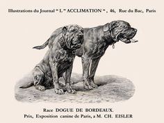 The Blissful Dog Shop for your Dogue de Bordeaux for For dry noses, elbow calluses, rough paws, skin issues and emotional health, with French Mastiff labels. Mastiff Breeds, Mastiff Puppies, Giant Dog Breeds, Giant Dogs, Love Pet, I Love Dogs, Fierce Animals, Black And White Dog, Dog Shop