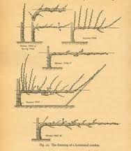Image result for espalier fruit trees