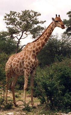 Giraffe, Kruger National Park, South Africa by _Zinni_, via Flickr