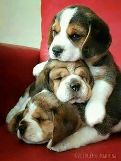 BEAGLE Puppy LOVE!! Hundebabys, Kleine hunde und Hundebaby