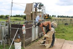 26 June sheep shearing it doesn't seem 5 minutes since the lambs were born