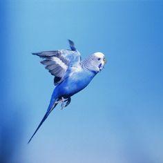 Blue parakeet in flight