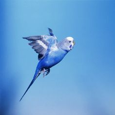 Blue parakeet in flight