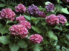 Hydrangeas growing on the driveway