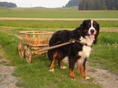 Bernese Mountain Dog....Ha. What would it be like to train your large dog to pull a cart at events?