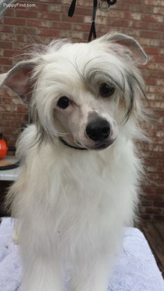 Chinese Crested Pictures (8w3zzbuk7z3)