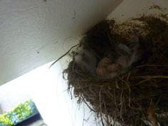 Swallows in their nest on Ryehill Farm, Northumberland