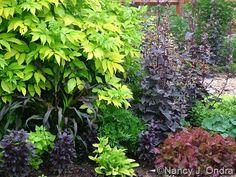 sambucus-nigra-aurea-pennisetum-purple-majesty-basil-osmin-centaurea-gold-bullion-atriplex-lettu.jpg 460×345 pixels