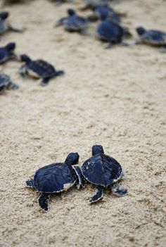 "10bullets: "" two baby turtles heading to the sea (by m for marvellous) """