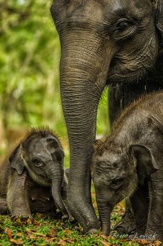 Although twins are not out of the question, they are extremely rare in elephants ~ due to their size.