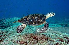 Hawksbill Sea Turtle Swimming Brazil Stock Photo | Getty Images