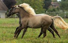 cla rocky mountain horse | Bethsabee