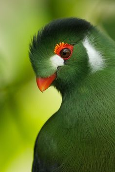 Beautiful Turaco Bird - Stunni Love Moments
