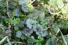 Smoking with Gundermann holds interpersonal things together Poisonous Plants, Real Plants, Juniper Berry Essential Oil, Magic Herbs, Green Witchcraft, Diy Projects For Beginners, Lemon Balm, Going Natural, Natural Energy