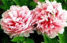 10 Bunga Cantik yang Berkhasiat Bagi Kesehatan