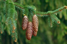 High Quality Pine Cone Wallpaper Full HD Pictures