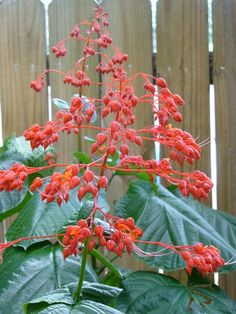 Giant Salvia, Japanese Glorybower, Red Glorybower Clerodendrum japonicum, C. Container Plants, Container Gardening, Acid Loving Plants, Hummingbird Plants, Organic Mulch, Seed Germination, Soil Improvement, Weed Seeds, Flowers