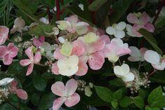 Early Sensation Hydrangea Paniculata, Plants, Plant, Planets