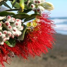 Pohutakawa blossom. New Zealand Holidays, Kiwiana, All Things New, Painting Inspiration, I Tattoo, Beautiful Flowers, Shots, Earth, Landscape