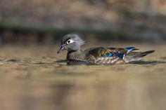 PhillymanPete posted a photo:  My female duck series continues with the Wood Duck hen. I think you would be hard to find another North American waterfowl species where the hen is more colorful. If you think of one, drop a comment in the box below. I love the iridescent colors on her wing feathers. Image taken on the Wissahickon River in Philadelphia. View large for best experience.  It is Friday! The weekend is here~! Thank you for stopping by.