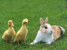Two Baby Ducks and a rabibit on grass...........cute!