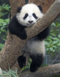 Just a panda hangin' out in a tree. :)  @Renee Cooper