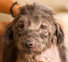 My name is Cinnamon. Please email deb@soidog.org to ADOPT me. Please make it possible for me to have a life with real love. I am 6 and a half years old and I live at Soi Dog, Phuket, Thailand. I was found living on the streets. I was skinny, sick and losing my fur; I was almost bald. I'm one of the lucky ones. https://www.facebook.com/SoiDogPageInEnglish/photos/a.894203643954705.1073743132.108625789179165/894203703954699/?type=1&theater