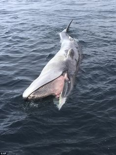 Federal probe is launched into the mysterious deaths of 30 Whales in the Gulf of Alaska