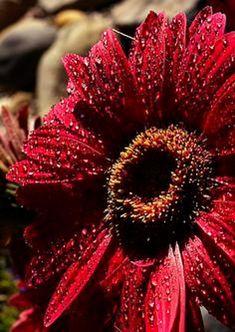 Gerbera Jamesonii, Gerbera Daisies, Jolie Photo, Container Plants, Flower Wallpaper, Shades Of Red, Perennials, Planting Flowers, Beautiful Flowers