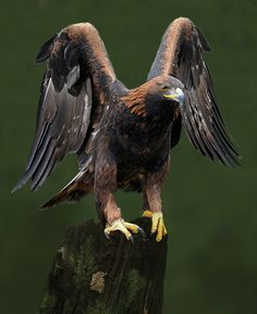 benthix: Golden Eagle by Ronald Coulter