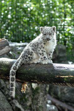 Snow by HecklingHyena on DeviantArt - Amur Leopard Leopard Cub, Clouded Leopard, Pretty Animals, Cute Baby Animals, Wild Animals, Beautiful Cats, Animals Beautiful, Snow Leopard Wallpaper, Baby Snow Leopard