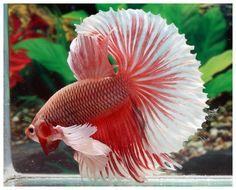803 best fish bowl images in 2019 aquarium fish betta betta fish