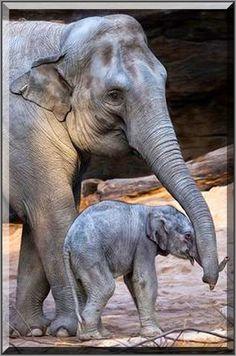 Mum`s helping trunk  #Fotograf: daliaf #elephant baby love animal pet nature cute elefant   #Mama`s helfender Rüssel