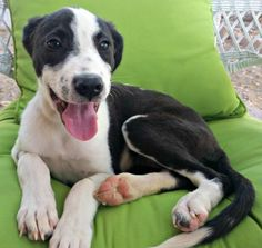 Alexandria is an adoptable Border Collie searching for a forever family near Phoenix, AZ. Use Petfinder to find adoptable pets in your area.