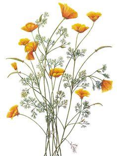 Northern California Society of Botanical Artists » Ashby