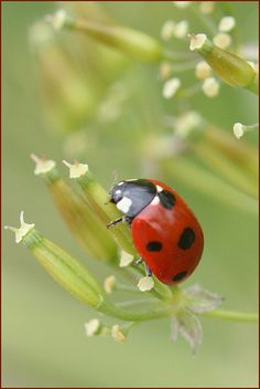 lLady bug totem - Ladybug is the European equivalent of the Egyptian Scarab. The 7 spots symbolize the 7 in Sacred Geometry. Its appearance heralds fulfilled wishes, the diminishment of worry, and the expansion of happiness. It symbolizes regeneration, new goals, and new achievements. It also means we have a connection with other planes of reality we have experienced and will experience.            ladybug on white buds