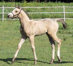 A buckskin colt (Innishfael Dragon x JAA Gala Dancer). He is 7/8ths Arabian and 1/8th Paint. Photo courtesy of Innishfael