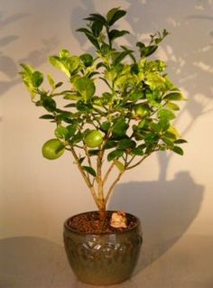 Dwarf key lime indoor potted tree