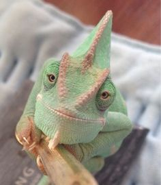 The most beautiful chameleon ever! Her name is Madori.