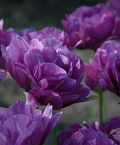 Tulip Blue Spectacle - Peony Flowering Tulips - Tulips - Flower Bulb Index